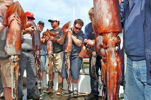 giant-humboldt-squid-california